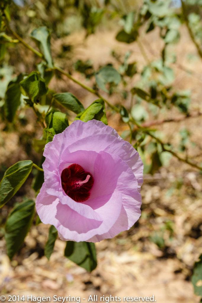 Rose of desert