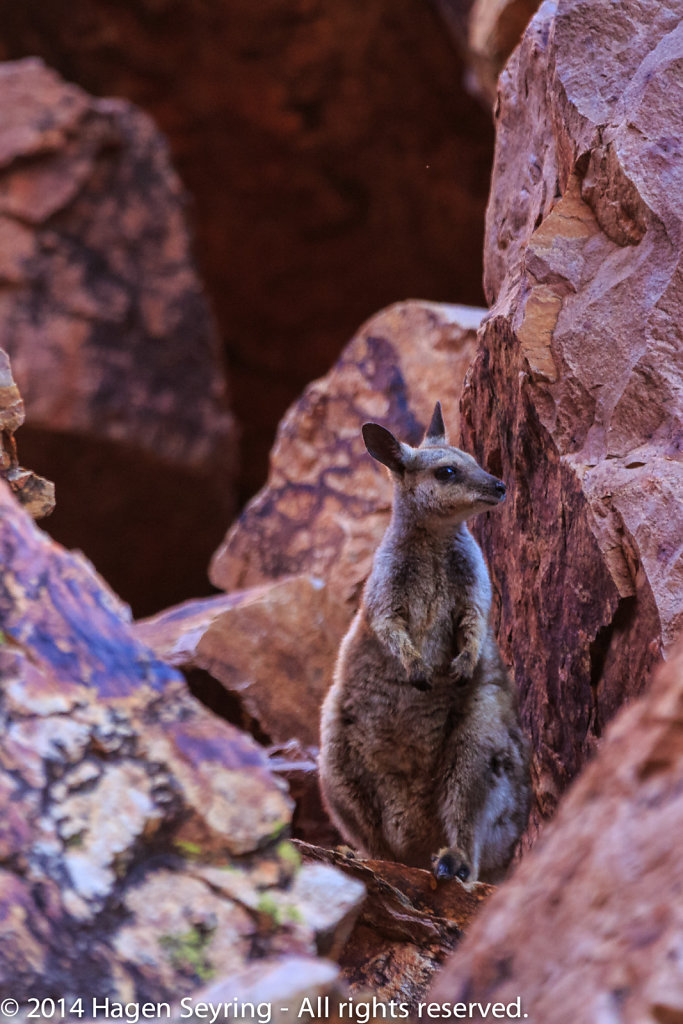 Wallaby in the Simpsons Gap in the Simpsons Gap
