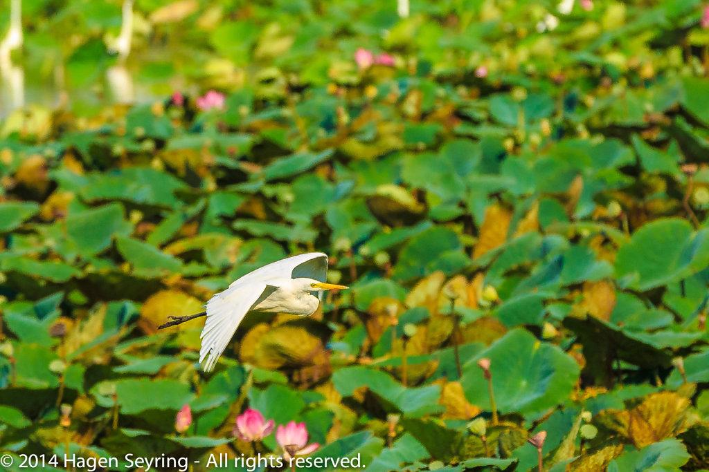 Royal Spoonbill over the Mamukala Wetlands