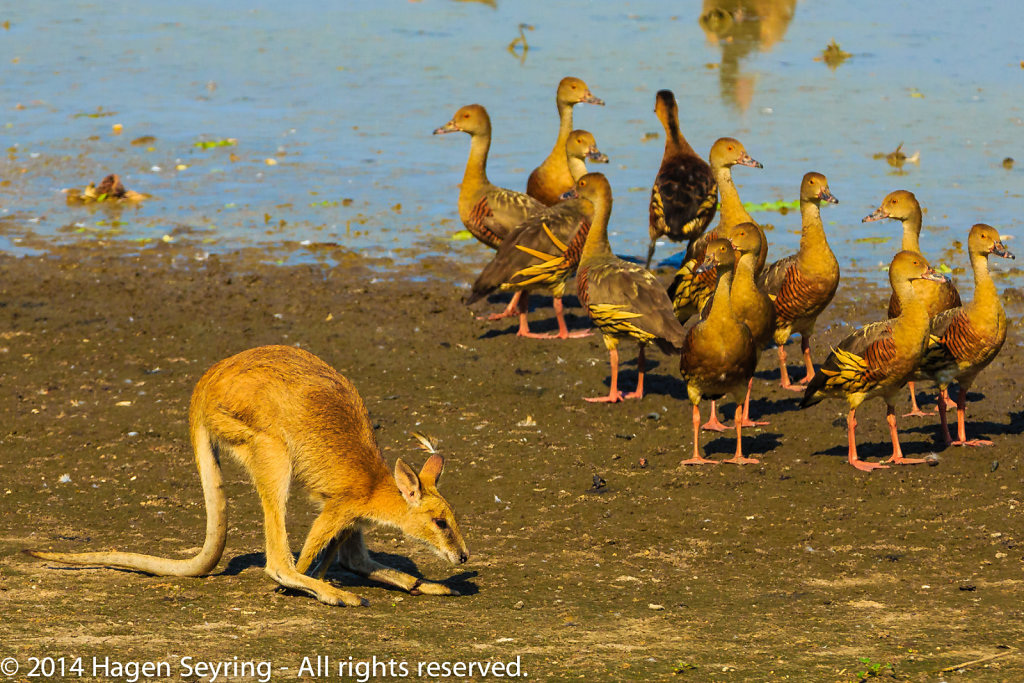 Wallaby with ducks in the Mamukala Wetlands