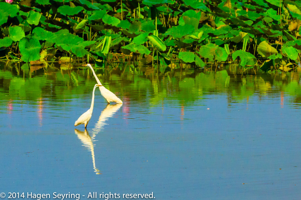 Two Royal Spoonbill in the Mamukala Wetlands