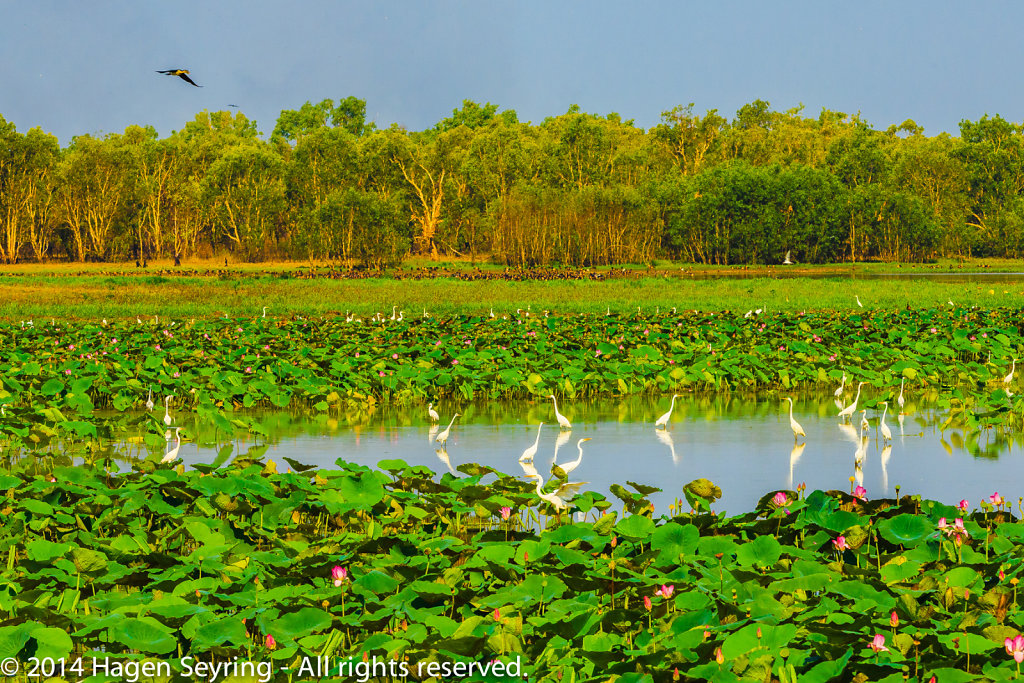 Royal Spoonbill standing in the water