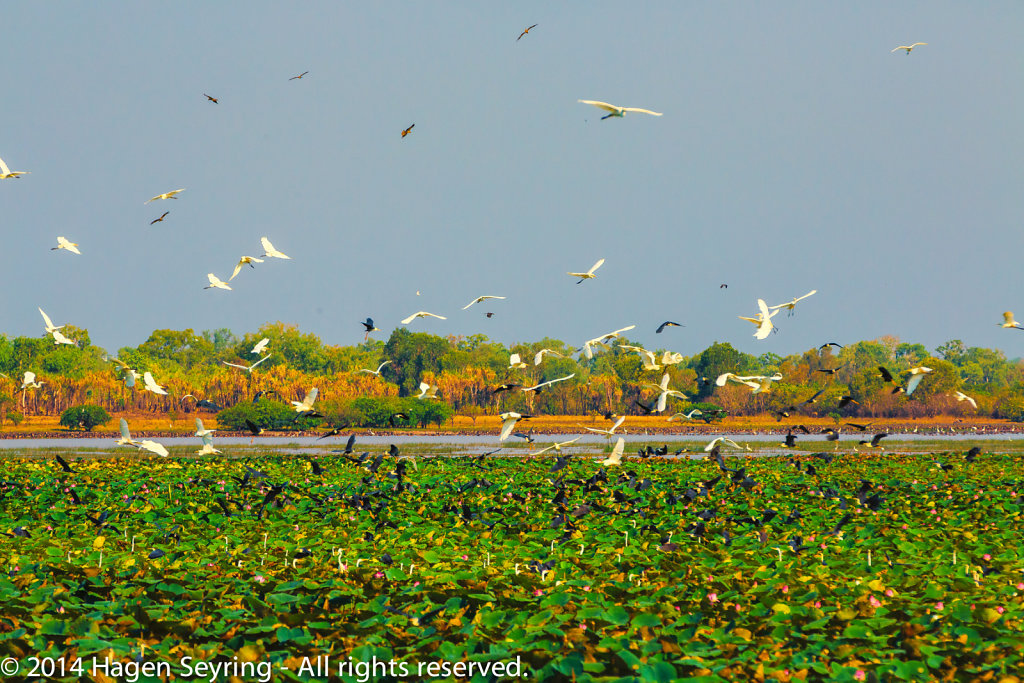 Wheeling birds over the Mamukalla Wetlands