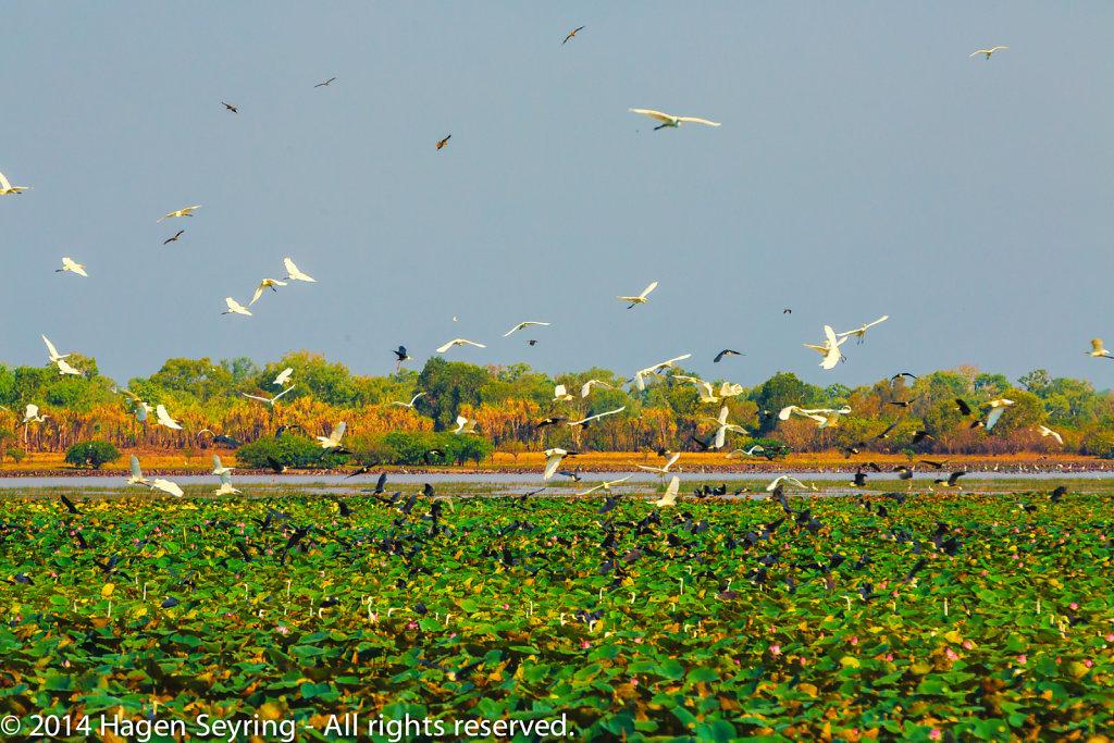 Wheeling birds over the Mamukalla Wetlands
