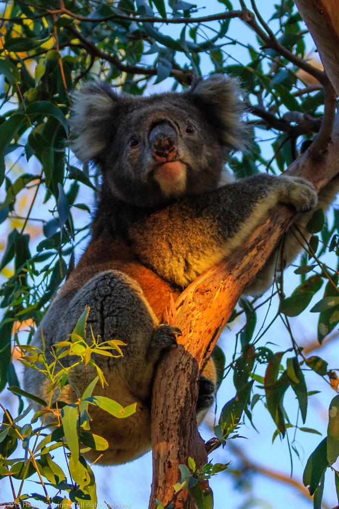 Koala in a eucalyptus tree