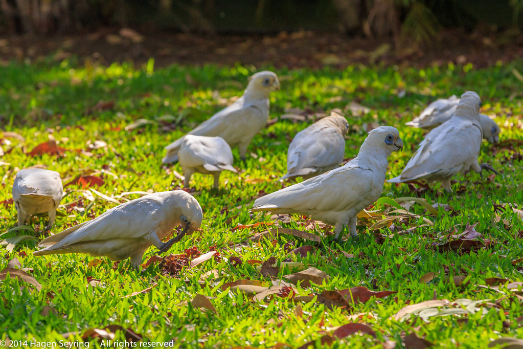 Cockatoo feeding seeds from the ground