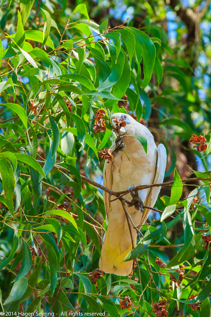 Cockatoo picking feed from the seed from the branch
