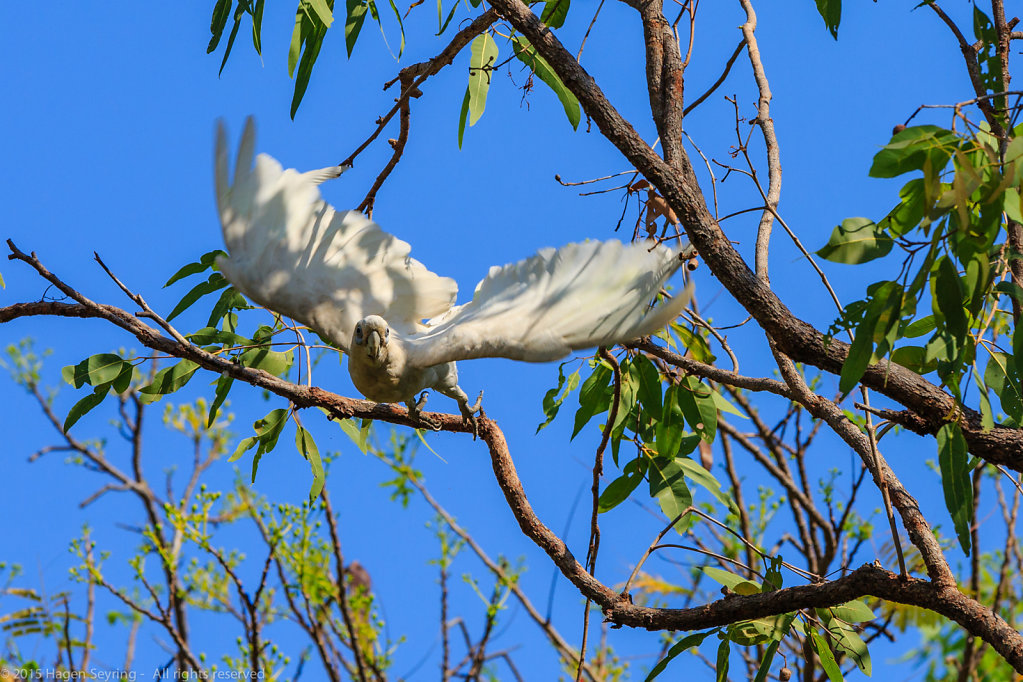 Flying off Cockatoo