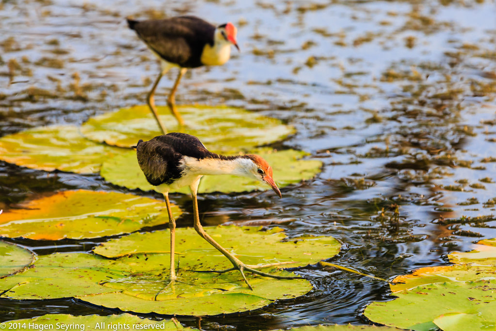 Com-crested jacana standind on water lilly leaves