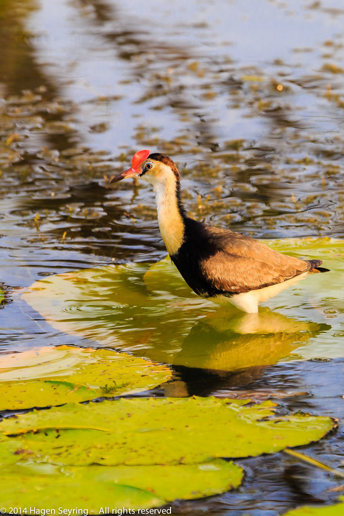 Sunken Com-crested jacana on a water lily leave