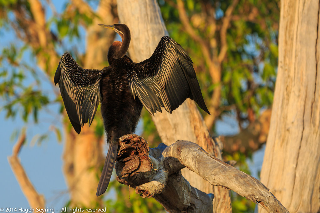 Australian Darter drying his wings