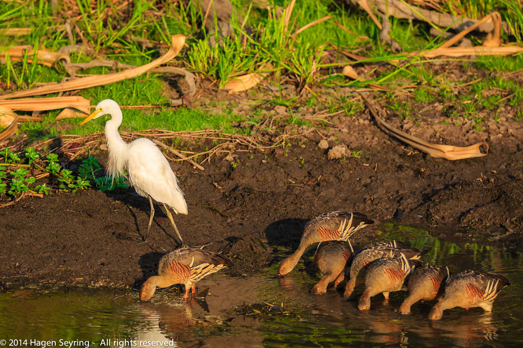 White heron with geese