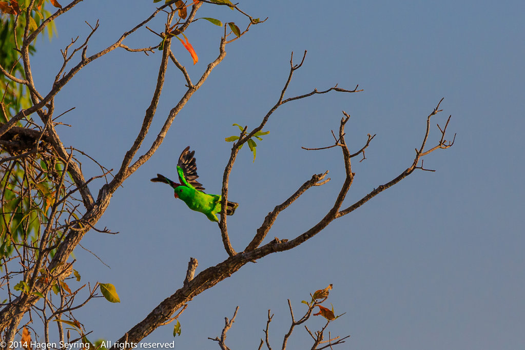 Outbounding green parrot