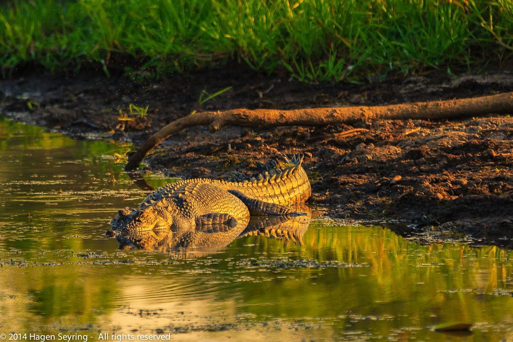 Saltwater crocodile bathing in the morning sun