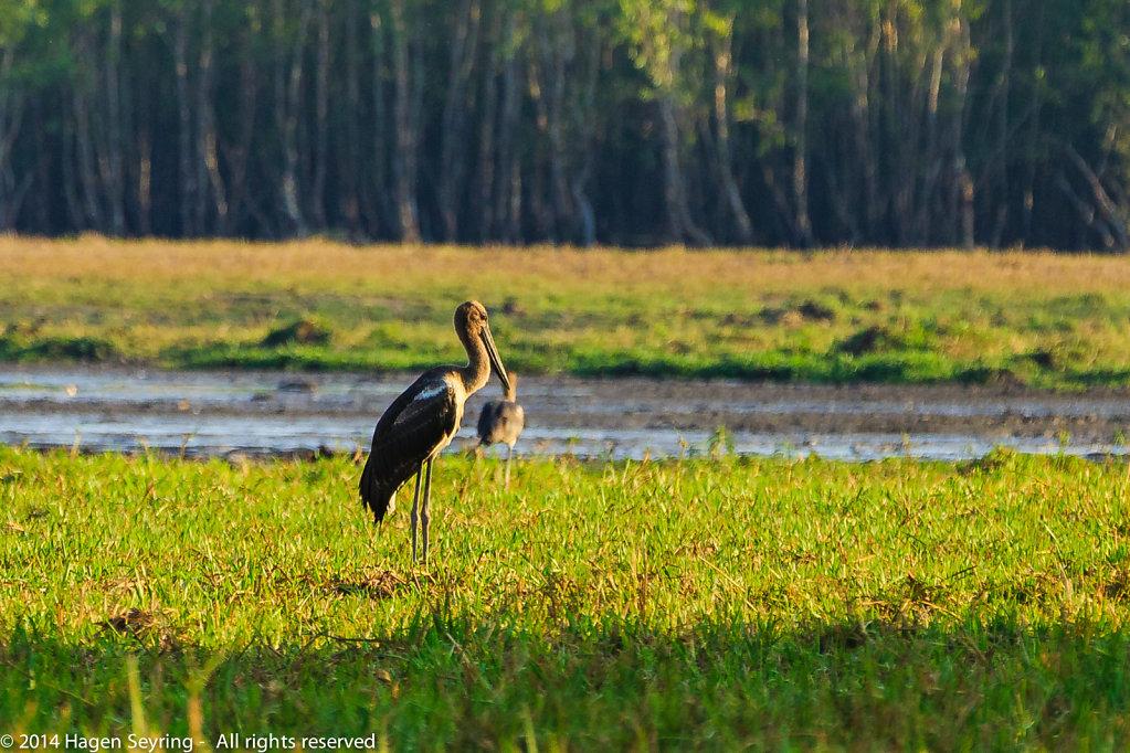 Jaburi standing in the wetlands