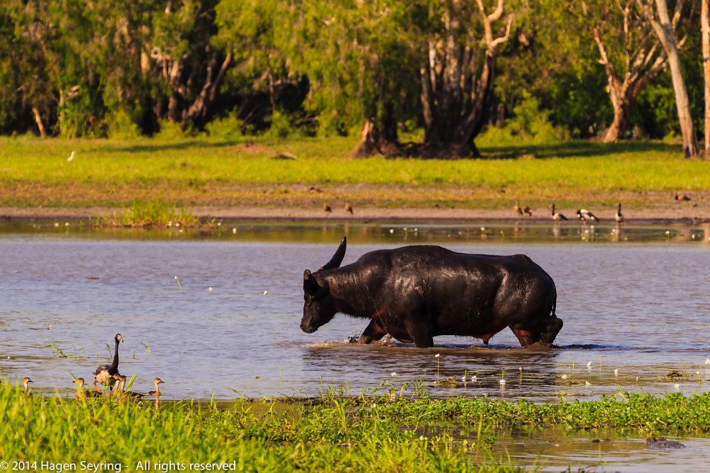 Water buffalo getting angry