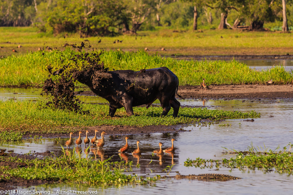 Really angry water buffalo