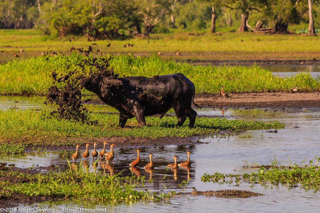 Really angry water buffalo