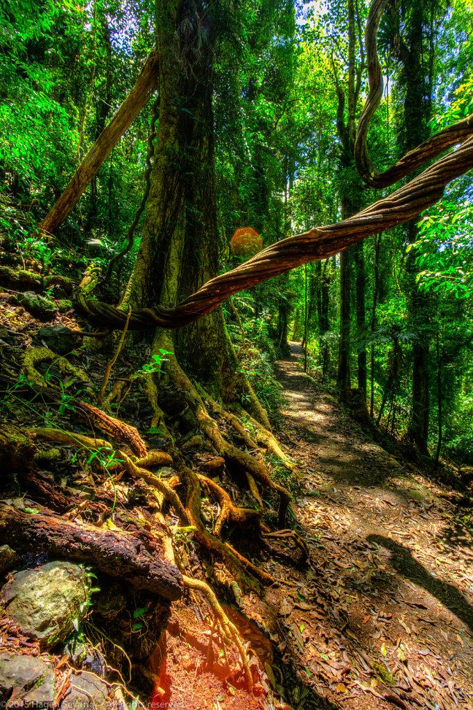 Walking track rain forest, Dorrigo National Park