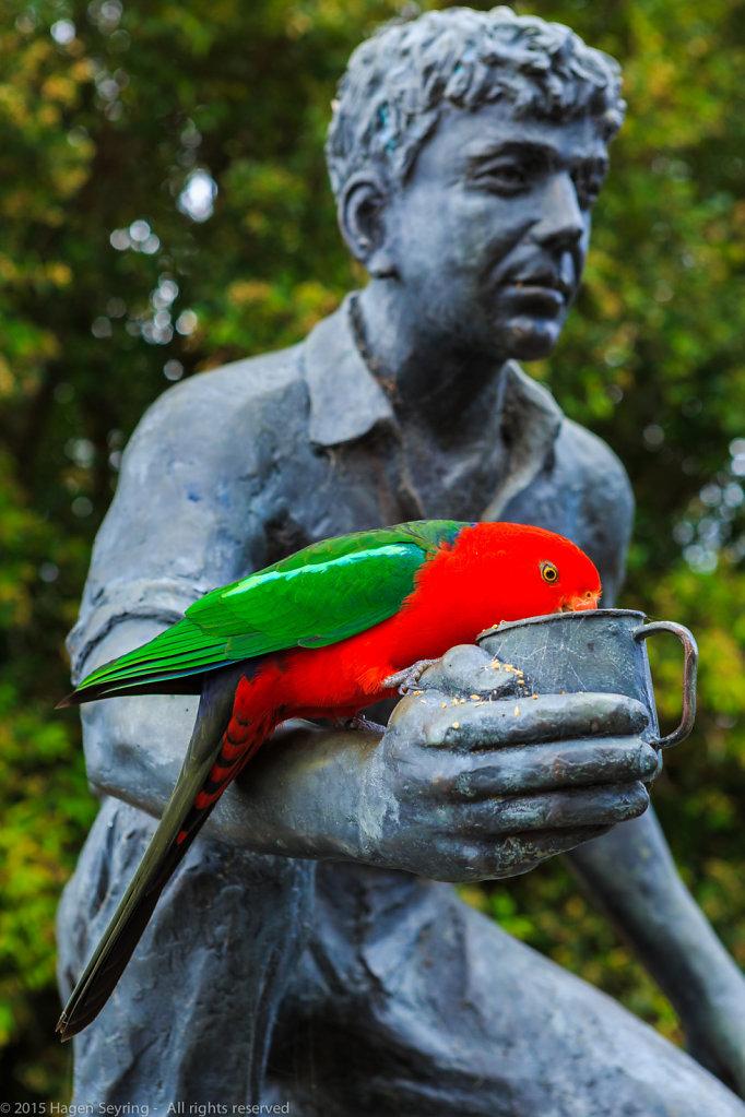 Feeding King Parrot