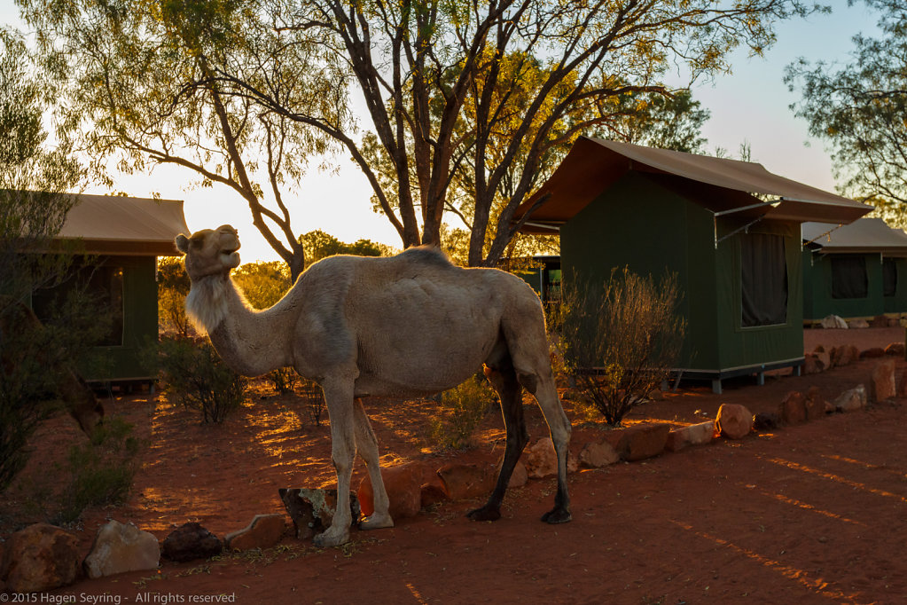 A camel in our campsite in Kings Greek Station