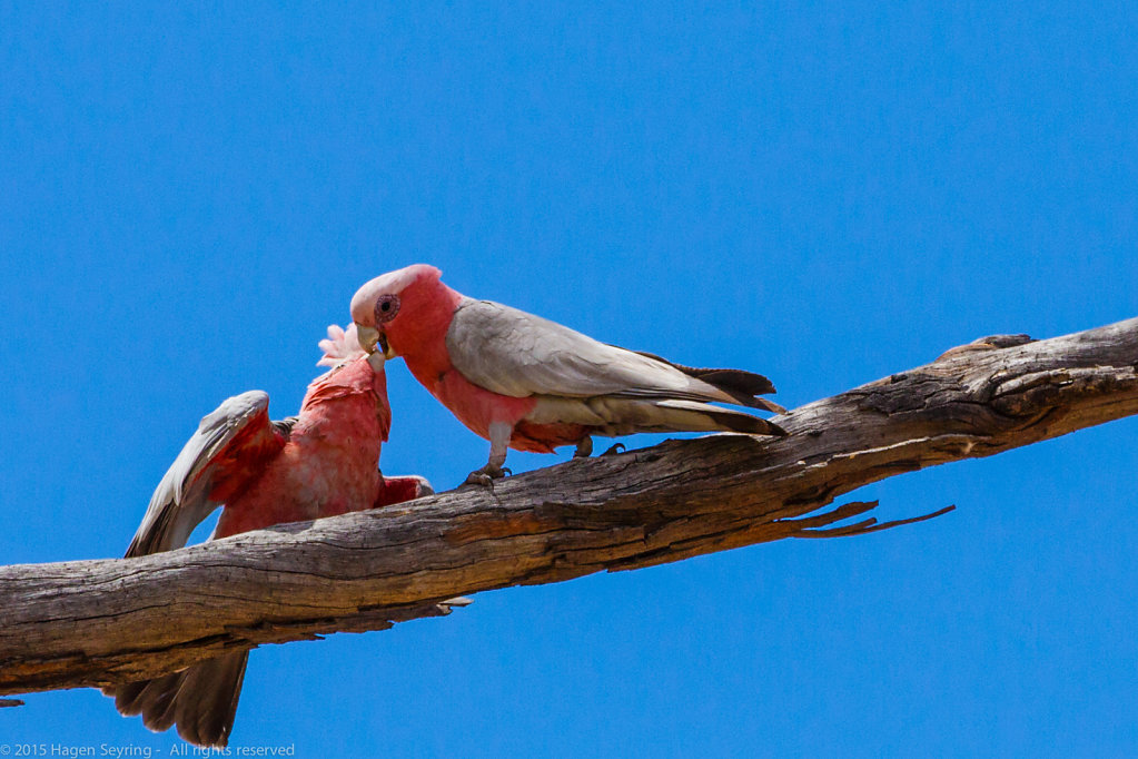 Galahs in the outback