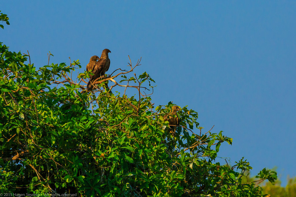 Hawks sitting in a tree watching over the Mamukala wetlands