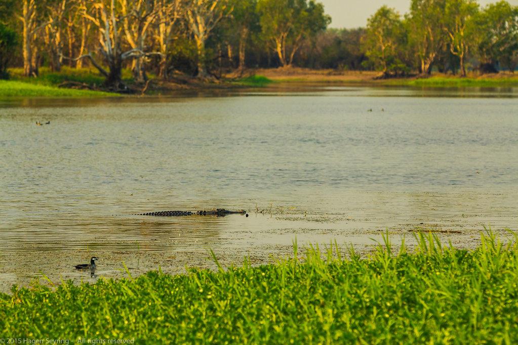Crocodile in the Yellow Water