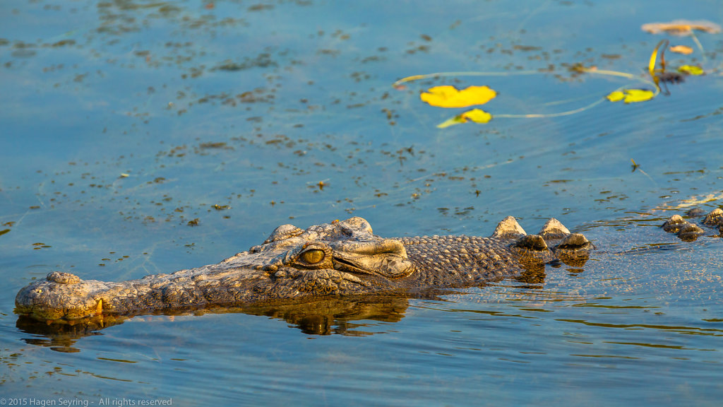 Close up of a 4 meter long Saltwater Crocodile swimming in the Y