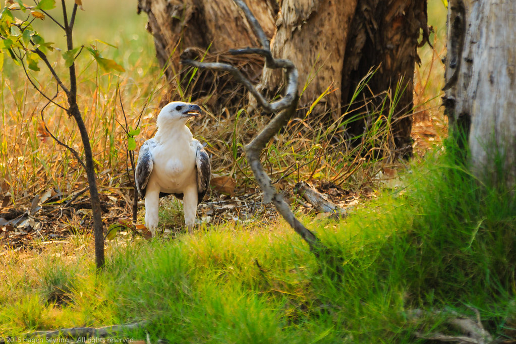 Observating White-bellied sea eagle