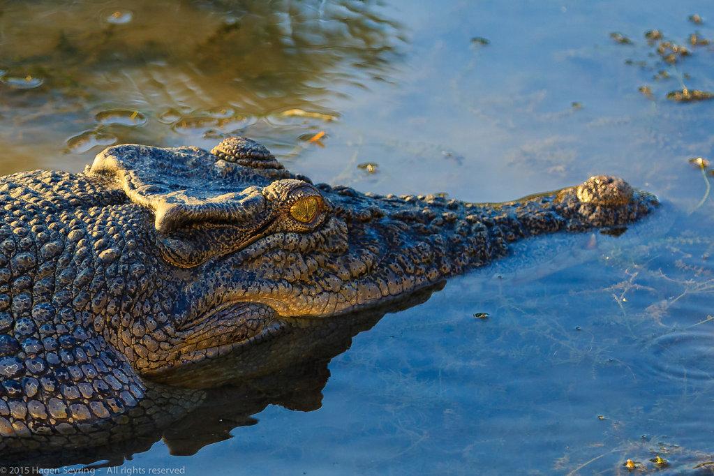 Bushwhacking saltwater crocodile