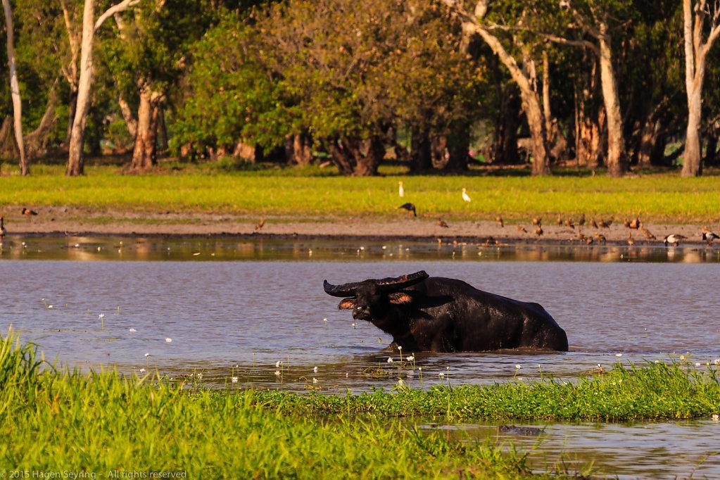 Observing water buffalo