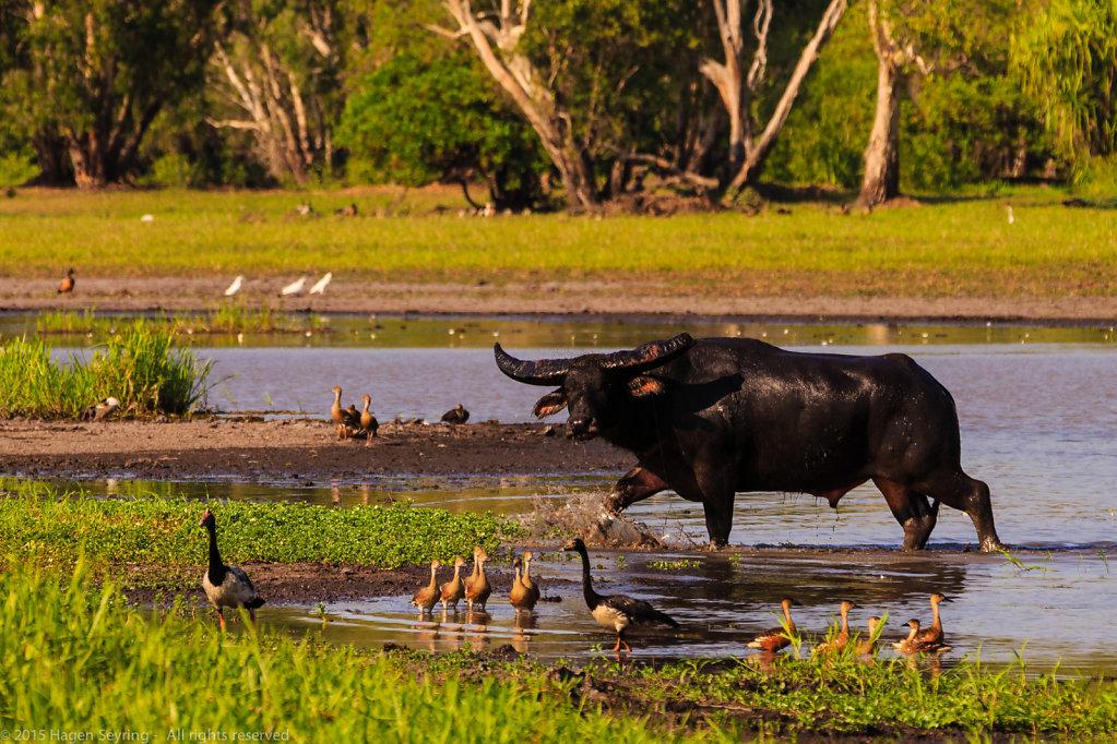 Mistrustful looking water buffalo