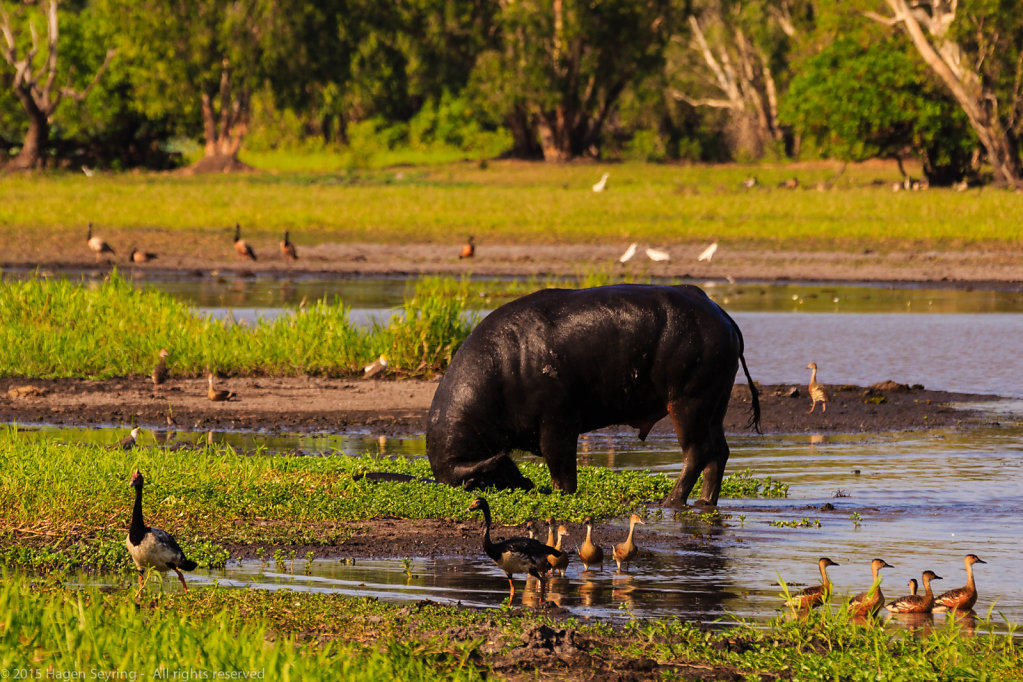 Angry water buffalo