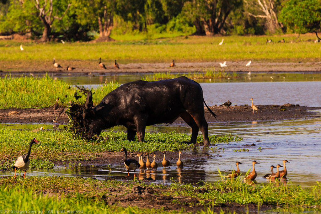 Very angry water buffalo