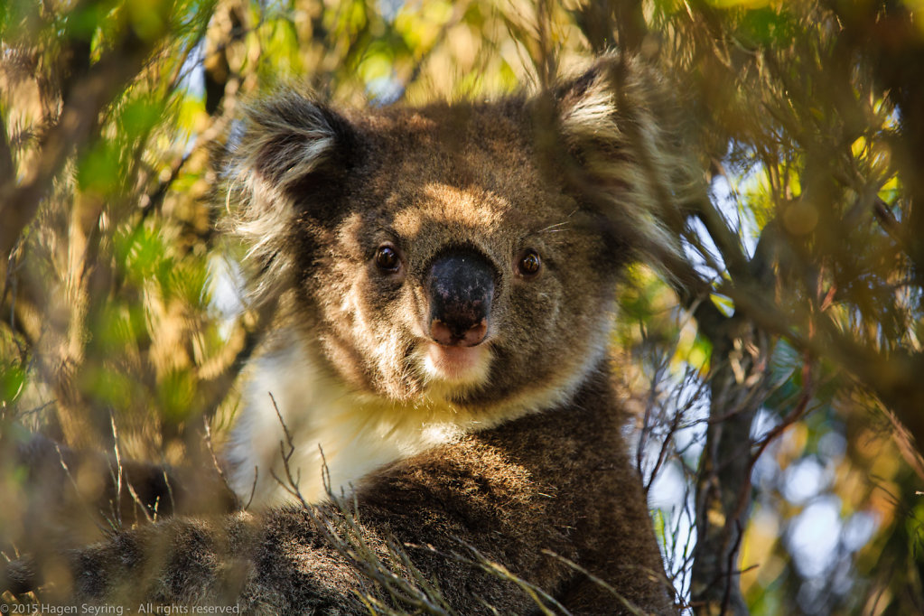 Koala in the Cape Otway National Park